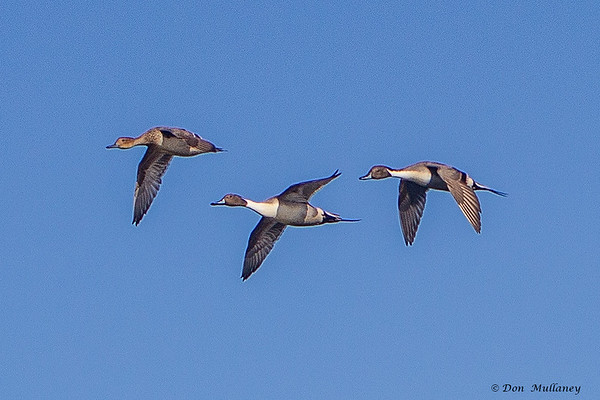 Northern pintails in flight- Vancouver Island, BC, Canada