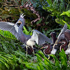 Tri-colored Heron with it's chicks- Wakodahatchee Wetlands, Delray Beach, FL