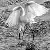 Great Egret feeding in B&W- Wakodahatchee Wetlands, Delray Beach, FL