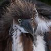 Tri-colored Heron Chick- Wakodahatchee Wetlands, Delray Beach, FL