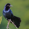 Boat-tailed Grackle calling- Wakodahatchee Wetlands, Delray Beach, FL