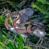 A trio of Tri-colored Heron chicks- Wakodahatchee Wetlands, Delray Beach, FL