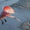 Roseate Spoonbill coming in for a landing- Wakodahatchee Wetlands, Delray Beach, FL