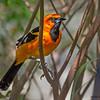 Spot-breasted Oriole - Lake Worth, FL