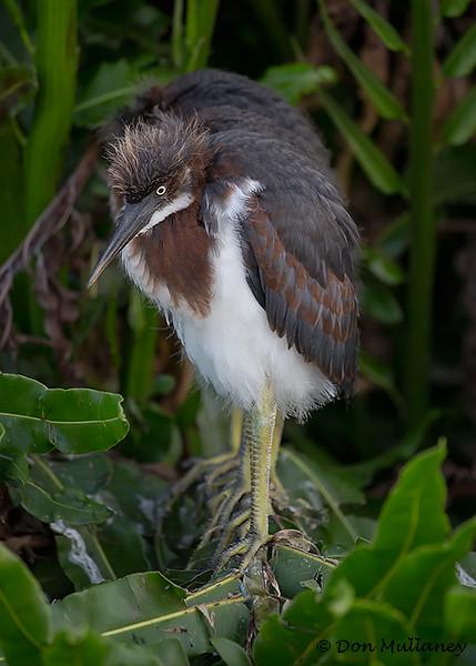 A Tri-colored Heron chick- Wakodahatchee Wetlands, Delray Beach, FL