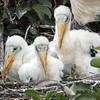 Three Wood Stork chicks- Wakodahatchee Wetlands, Delray Beach, FL