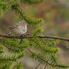 Vesper Sparrow - UP MI
