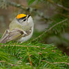Golden-crowned Kinglet - UP MI