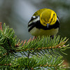 A Black-throated Green Warbler looking for food. - UP MI
