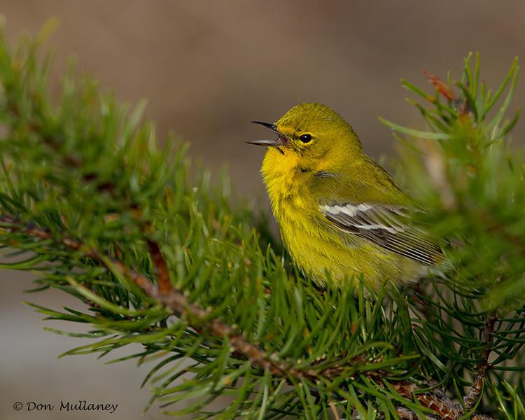 Pine Warbler calling - UP MI