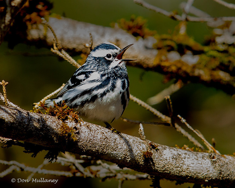 Black and White Warbler - UP MI
