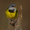 Mourning Warbler - - Munuscong Bay Management Area,MI