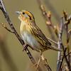 Le Conte's Sparrow - near Mio, MI