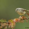 Ruby-crowned Warbler - UP MI