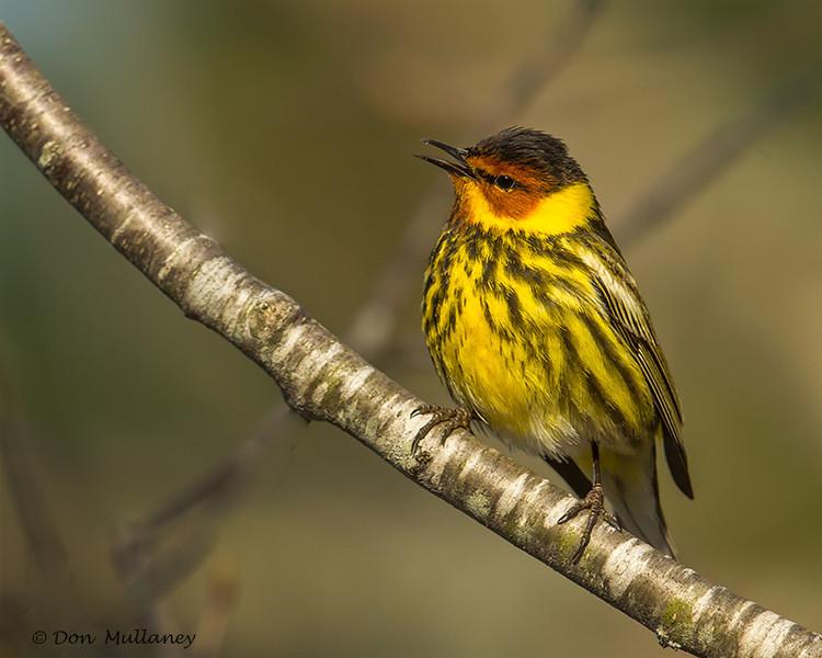 Cape May Warbler singing. - UP MI
