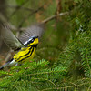 Magnolia Warbler in flight - UP MI