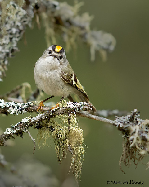 A beautiful Golden-crowned Kingley on a lichen covered branch - UP MI