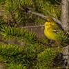 Pine Warbler - UP MI