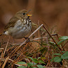 A singing Ovenbird - UP MI