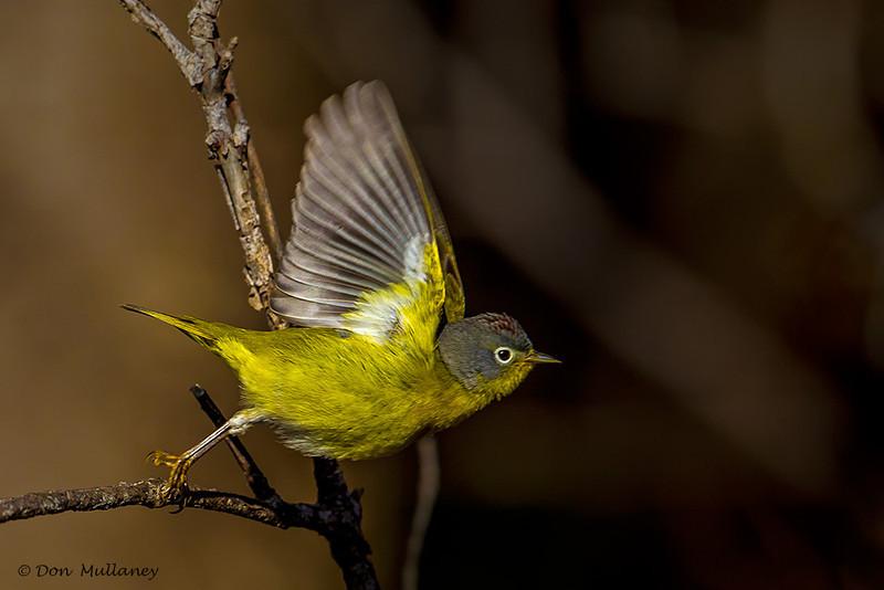 Nashville Warbler in flight- UP MI