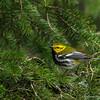 Black-throated Green Warbler - UP MI