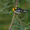 Blackburnian Warbler - UP MI