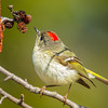 Ruby-crowned Kinglet - UP MI