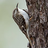 Brown Creeper - UP MI