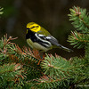 Black-throated Green Warbler - UP MI