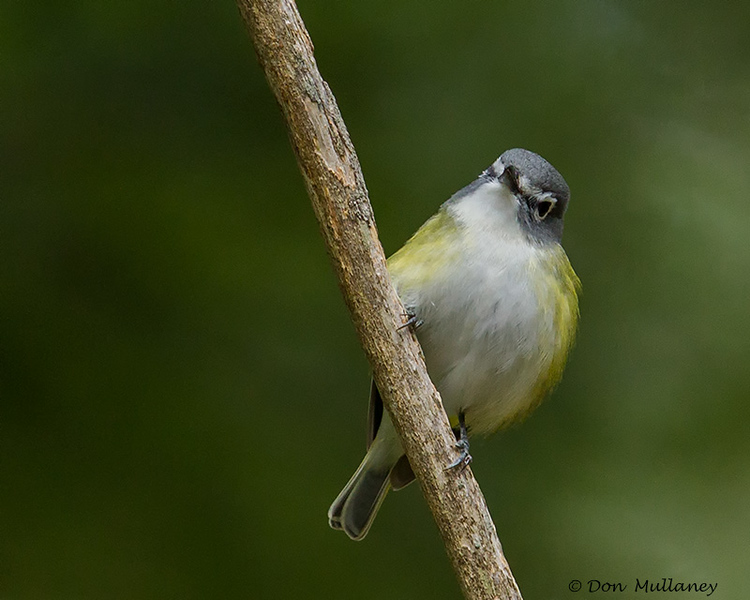 A perched Blue-headed Vireo - UP MI
