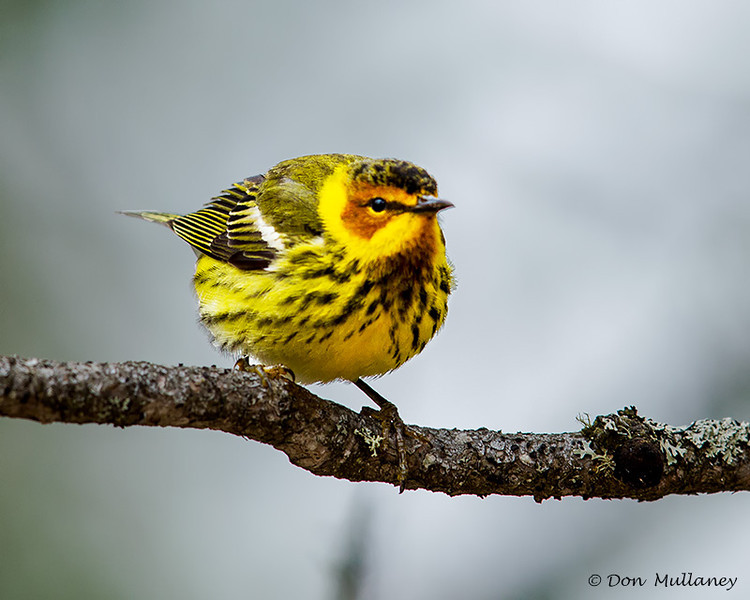Cape May Warbler - UP MI