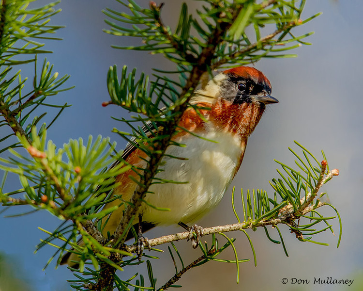 Bay-breasted Warbler - Munuscong Bay Management Area,MI