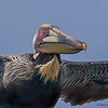 A headshot of a Brown Pelican's flyby - Carolina Beach, NC