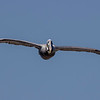 A Brown Pelican gliding past my balcony - Carolina Beach, NC
