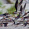 Skimmer Chaos caused by Audubon Techs doing survey work - Wrightsville Beach, NC