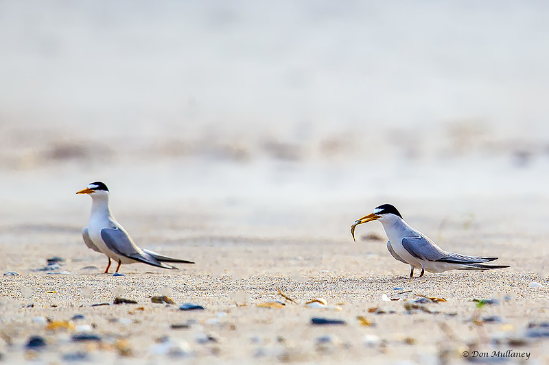 Least Tern were absent for the most part. Here a couple going through the mating ritual of the male offering a fish to the female - South Wrightsville Beach, NC
