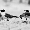 Laughing Gulls in Black & White. - Wrightsville Beach, NC