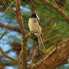 A Carolina Chickadee singing it's heart out - North Cape Fear River, Holley Shelter Gameland, NC