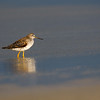 Greater Yellowlegs- Figure Eight Island, NC