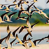 Lots of Black Skimmers at South Wrightsville Beach, NC