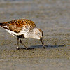 Dunlin- Figure Eight Island, NC