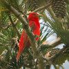 Summer Tanager M - Carolina Beach State Park