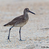 Willet walking the beach - Wrightsville Beach, NC
