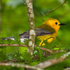 A pretty Prothonotary Warbler - North Cape Fear River, Holley Shelter Gameland, NC