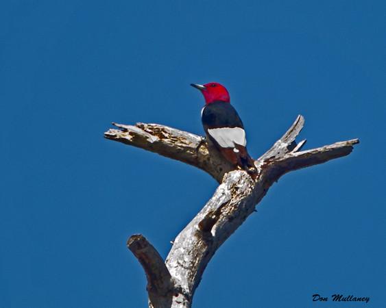 Red-headed Woodpecker - Carolina Beach State Park