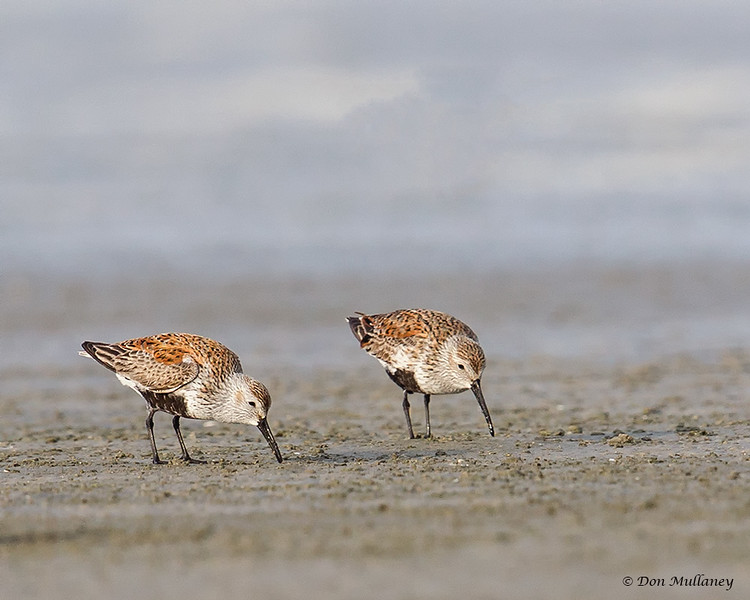 Pair of Dunlins- Figure Eight Island, NC