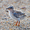 A LeastTern chick separated from it's parents. -  Wrightsville Beach, NC