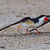 """A Black Skimmer starting it's """"injured bird"""" imitation. This is designed to lead the """"predator"""", in this case the Audubon tech, away from the nesting birds. - Wrightsville Beach, NC"""