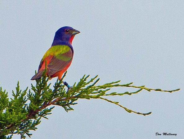 Painted Bunting - Ft. Fisher