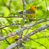 Two Prothonotary Warblers - North Cape Fear River, Holley Shelter Gameland, NC